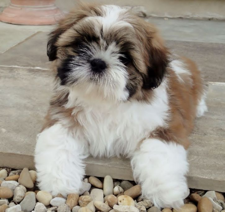 Adorable Chiot Shih Tzu A Donner Achat Vente Animaux Montreal Le Grand Garage