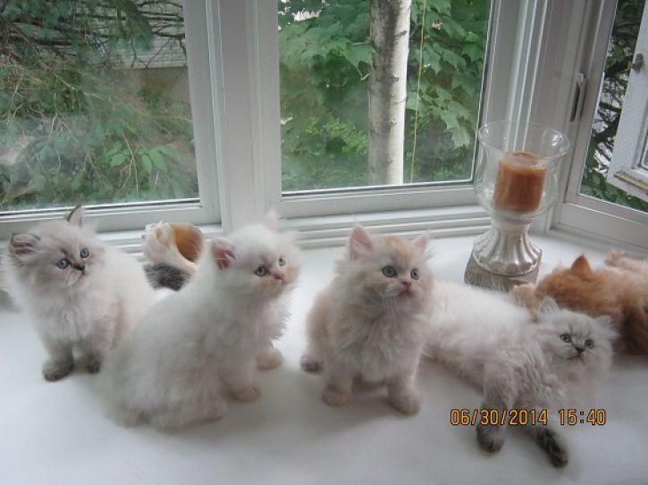 Chatons persans himalayen et chinchilla
