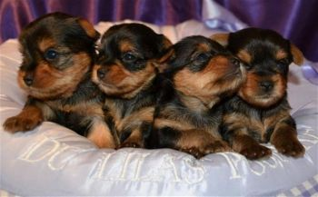 Superbes Chiots Yorkshire Terrier Pure Race-thumb