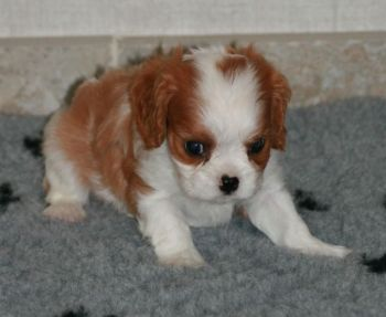 Adorable Chiot femelle Cavalier King Charles-thumb