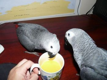 African Grey Parrots For Adoption-thumb