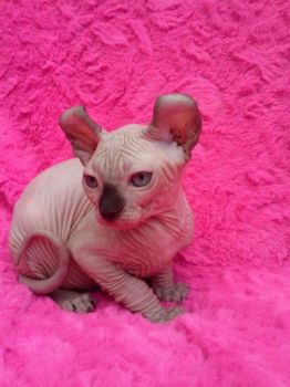 Sphynx chaton pour un foyer aimant-thumb