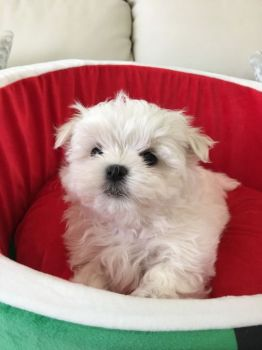 Quality Registered Maltese puppies-thumb