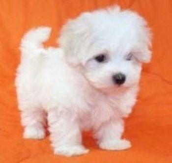 Very Sweet Charming Maltese Puppies-thumb